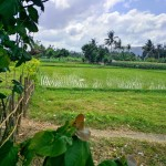 Rice paddy field outside a local village.
