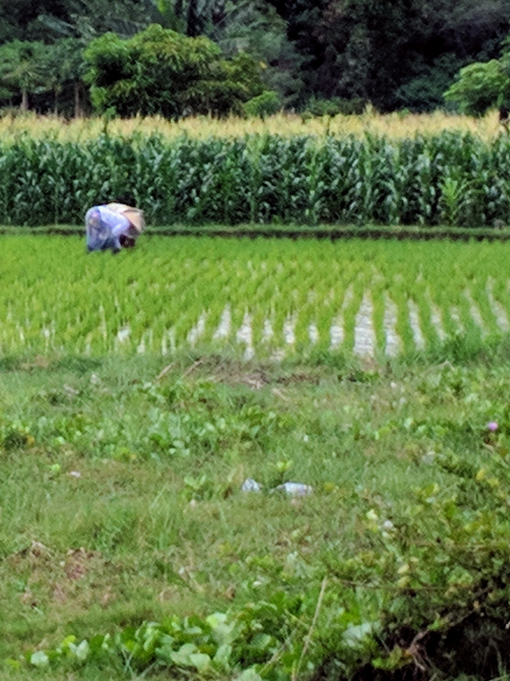 Gruelling work in the rice paddy