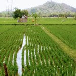 Rice planted in rows by hand into hand tilled fields. The water is regulated by dikes off a nearby river